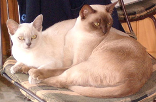 Chocolate and Lilac burmese